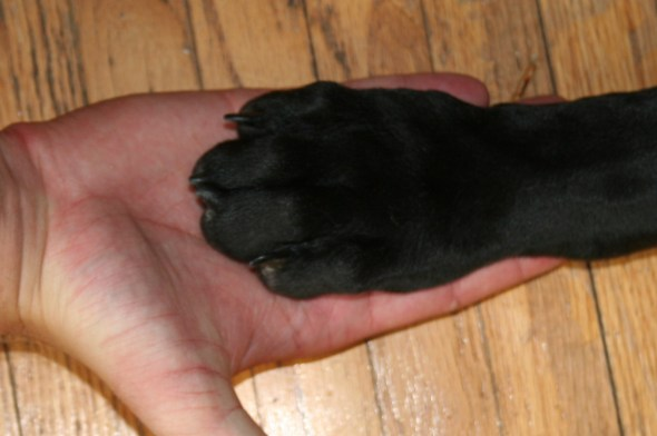 great dan puppy paw, eve