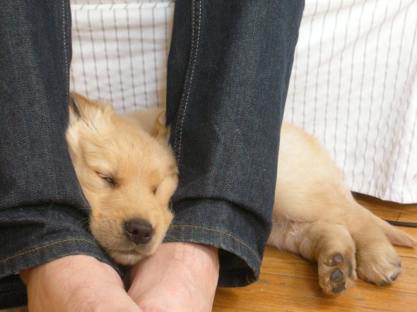 golden retriever, puppy, sleeping, between legs
