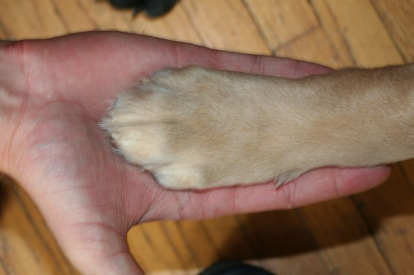 golden retriever paw, link