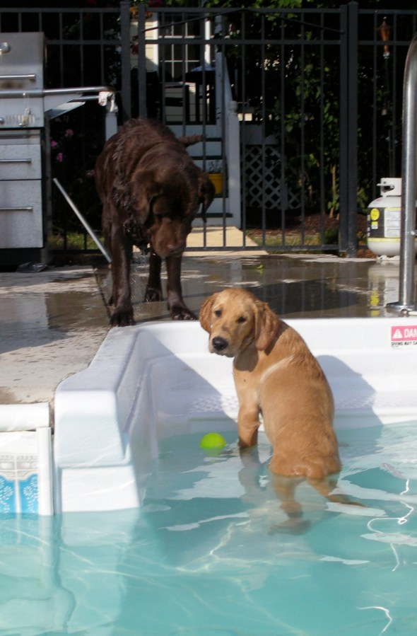 golden retriever, link, swimming, tennis ball, pool