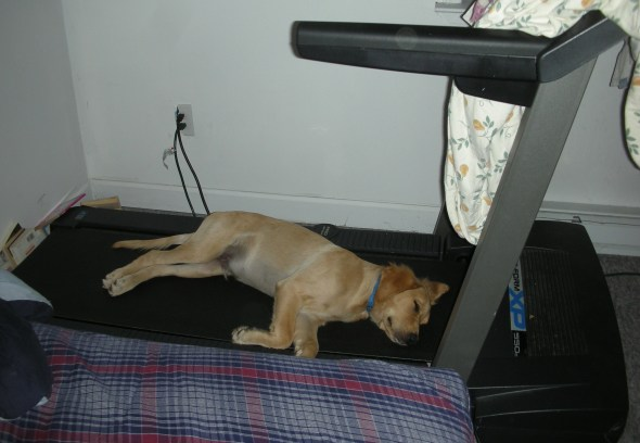link, golden retriever, sleeping, treadmill, puppy