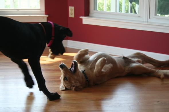 eve, link, great dane, golden retriever, puppy fight