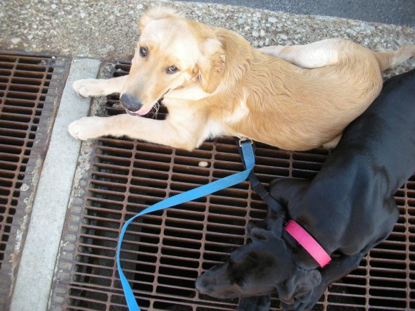 link, eve, great dane, golden retriever,stay cool, subway grate, puppies, chicago